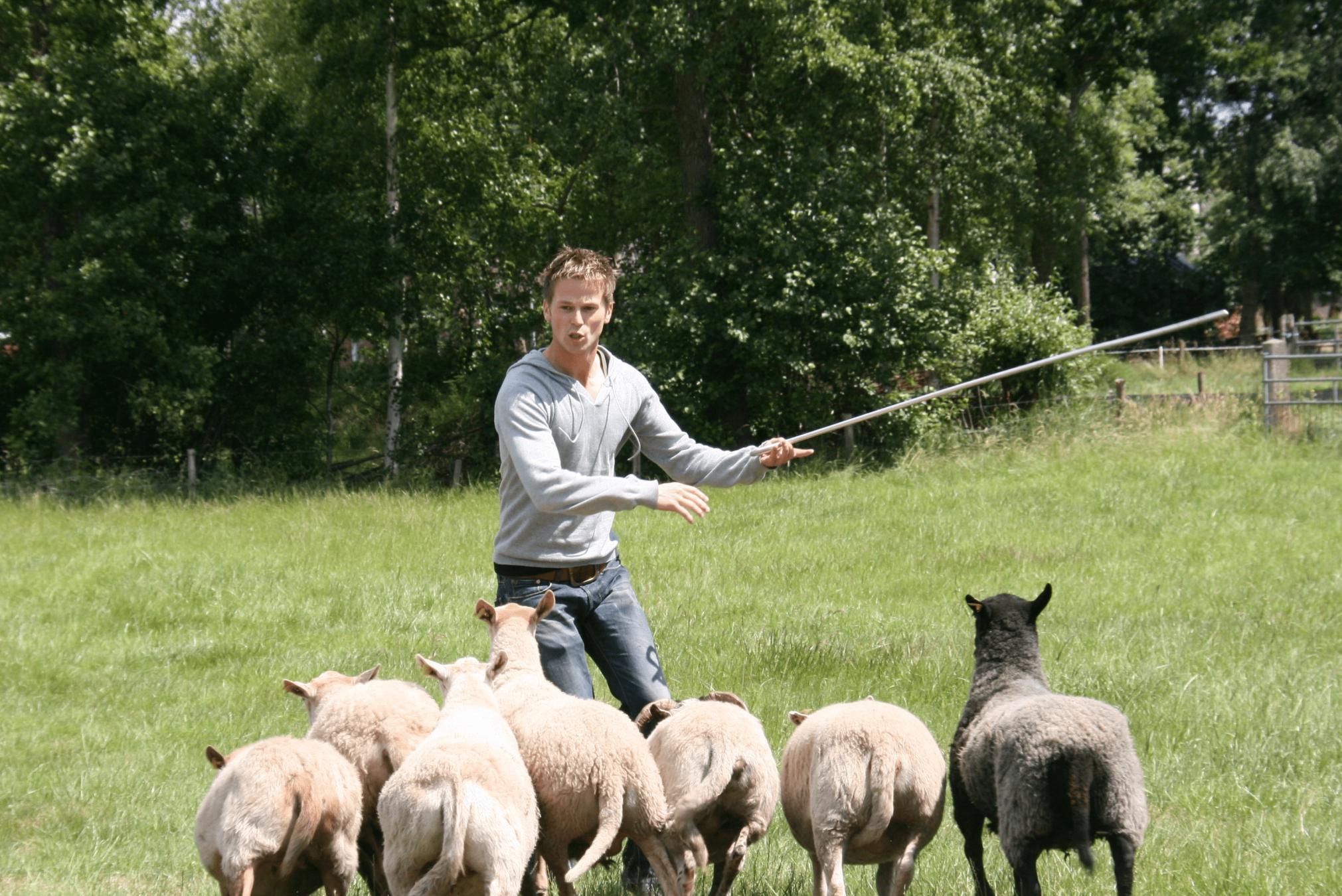 Gasunie schapenhoeden